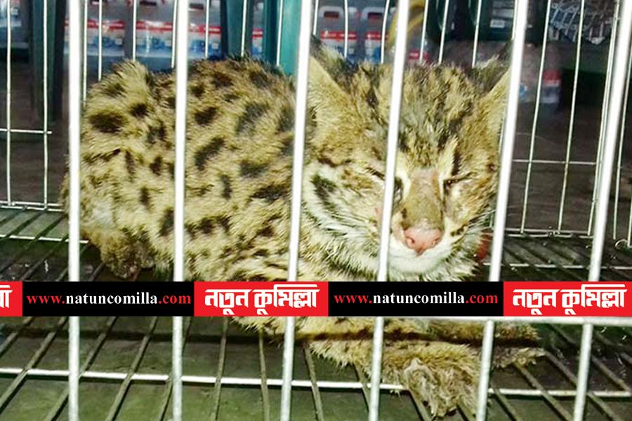 কলার ট্রাকের 'বাঘ শাবক'টি কুমিল্লা চিড়িয়াখানায়