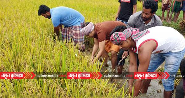 এবার কুমিল্লায় কৃষকের ধান কেটে বাড়ি পৌঁছে দিলো ছাত্রলীগ
